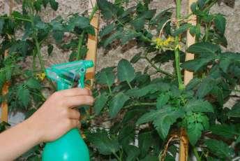 hnojenie paradajok na list