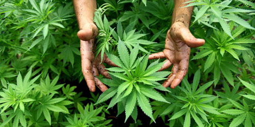 cannabis-usa-hanf-gruenes-gold