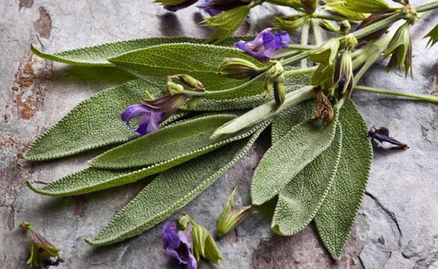 Der Salbei Ist Eine Echte Wunderpflanze! Mit über 60 Inhaltsstoffen Vereint  Er Allein In Sich Die Heilenden Wirkungen Von Rosmarin, Eukalyptus,  Teebaumöl, ...