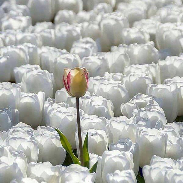 gelbe tulpe zwischen weißen tulpen - WikiBlog