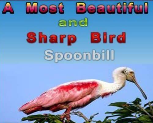 Bird Spoonbill