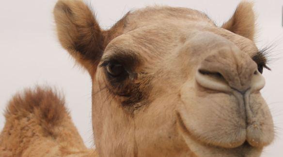 Fear the Camel