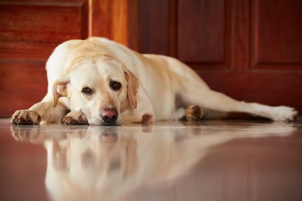 Labrador retriever is dealing with separation anxiety. waiting infront of the door of the house