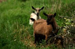 goat milk as a dairy alternative