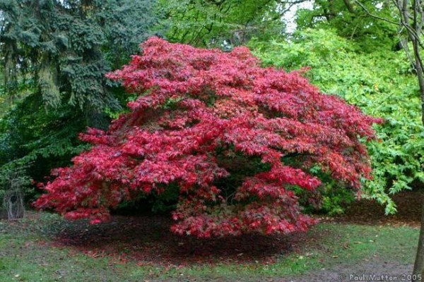 ornamental trees japanese gardens Ornamental Trees | Precision Landscape Management