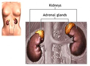 adrenal_gland_anatomy