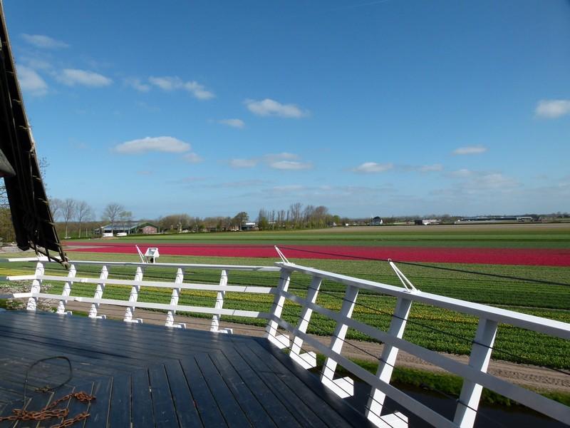 No dia 20/04/16 os campos ao redor do Keukenhof estavam parcialmente floridos