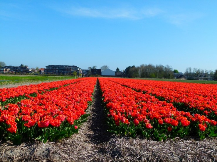 tulipas holanda