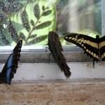 Tropische_Schmetterlinge_19