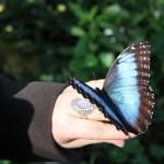 Tropische_Schmetterlinge_35