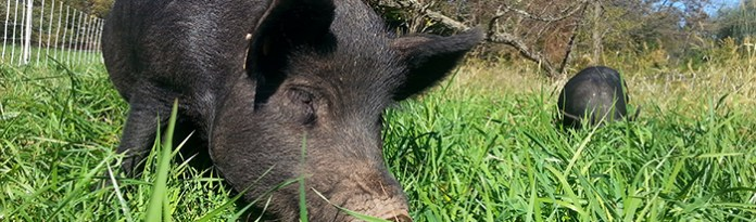 Getting Started with Pastured Pigs - Premier1Supplies