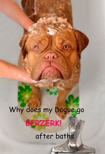 WHY DOES MY DOGUE DE BORDEAUX RUN AROUND AFTER BATHS?