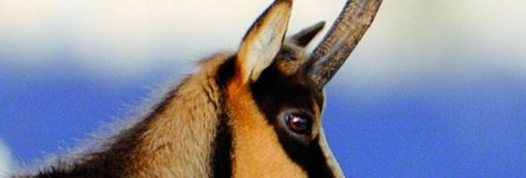 Il premio Ambientalista dell'Anno 2014 va ai biologi che hanno salvato il camoscio appenninico