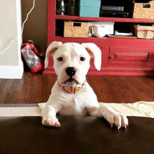 Female Pitbull Puppies For Sale, American Pitbull Breeder
