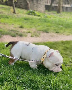 Previous Productions, American Pitbull Breeder