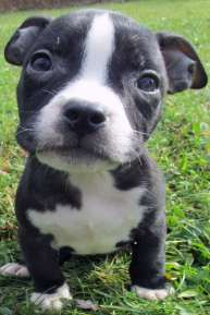 bully-pitbull-puppies-for-sale-f4_orig
