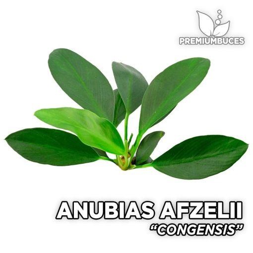 Anubias Afzelii Congensis planta de acuario