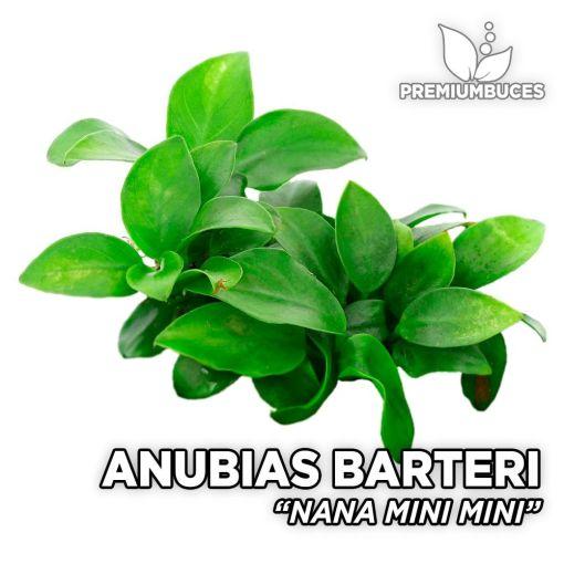 Anubias Nana Mini Mini planta de acuario
