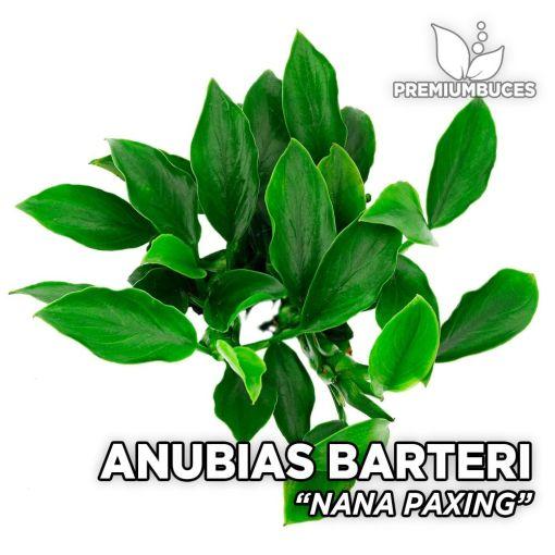 Anubias Nana Paxing planta de acuario