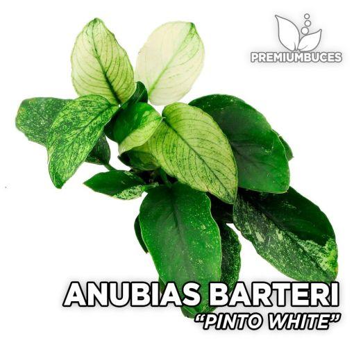 Anubias Pinto White planta de acuario