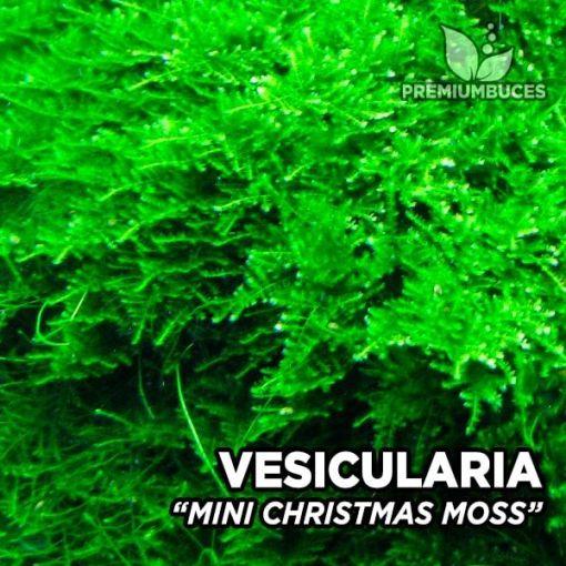 Vesicularia Mini Christmas Moss musgo de acuario