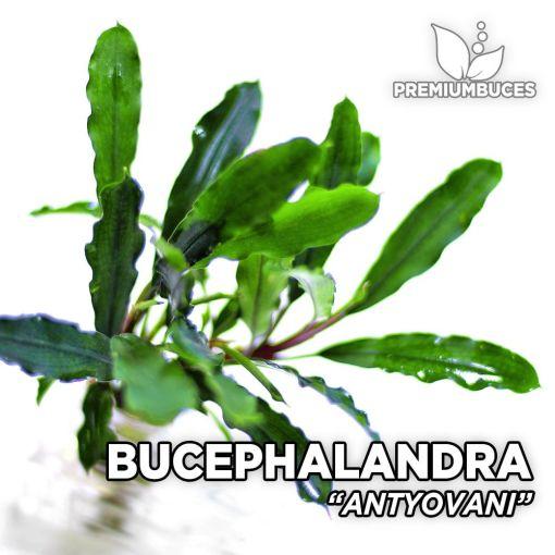 Bucephalandra Antyovani planta de acuario