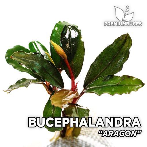 Bucephalandra Aragon planta de acuario