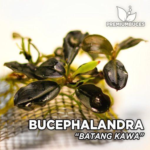 Bucephalandra Batang Kawa planta de acuario
