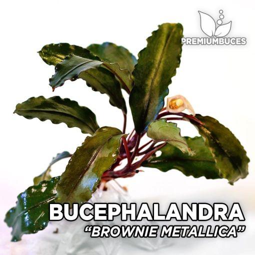 Bucephalandra Brownie Metallica planta de acuario