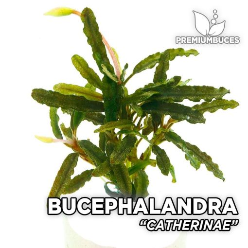 Bucephalandra Catherinae planta de acuario