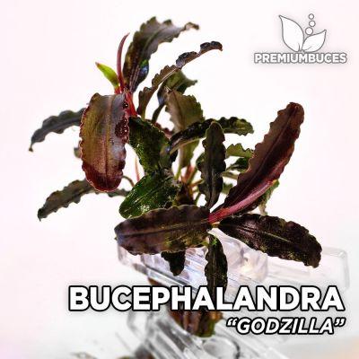 Bucephalandra Godzilla planta de acuario