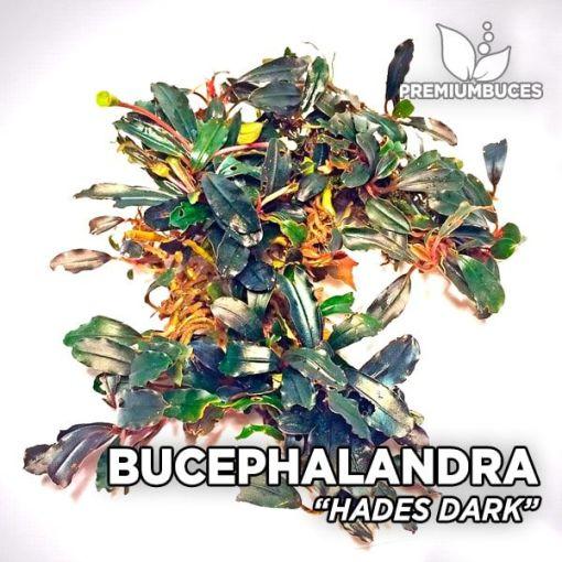 Bucephalandra Hades Dark planta de acuario