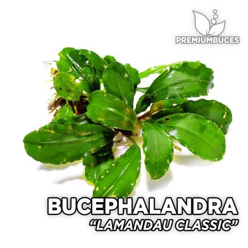 Bucephalandra Lamandau Classic planta de acuario