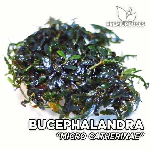 Bucephalandra Micro Catherine planta de acuario