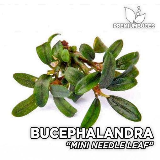 Bucephalandra Mini Needle Leaf planta de acuario