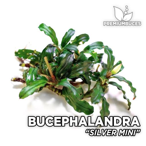 Bucephalandra Silver Mini aquarium plant