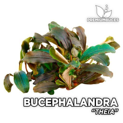 Bucephalandra Theia planta de acuario