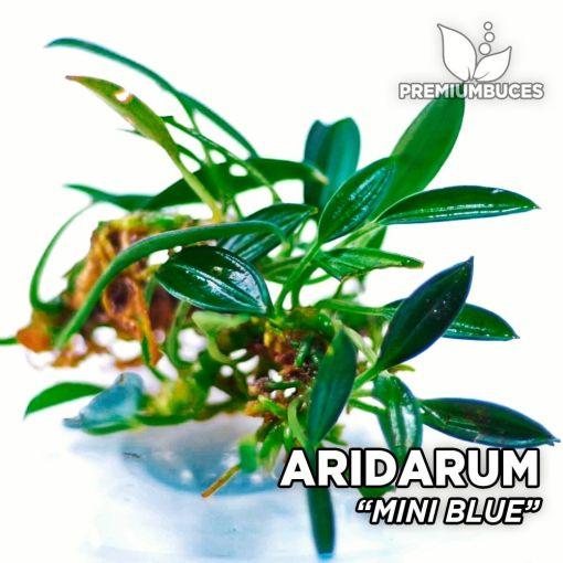 Aridarum Mini Blue planta de acuario