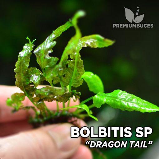 Bolbitis Dragon Tail planta de acuario