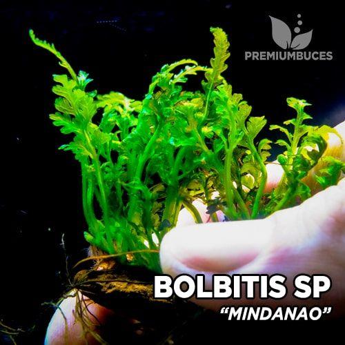 Bolbitis Mindanao planta de acuario