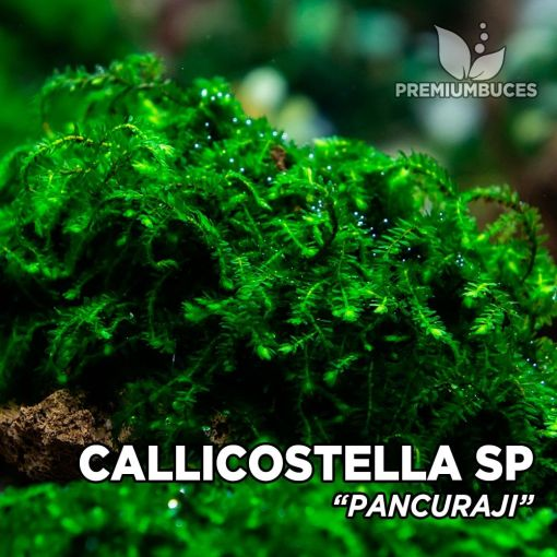 Callicostella Pancuraji musgo de acuario
