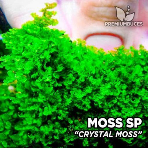 Crystal Moss musgo de acuario