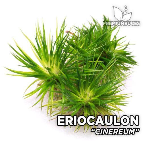 Eriocaulon Cinereum planta de acuario
