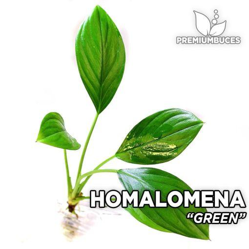 Homalomena Green planta de acuario