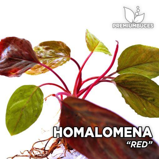 Homalomena Red planta de acuario