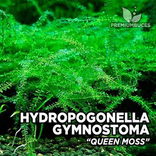 Hydropogonella Gymnostoma Queen Moss musgo de acuario