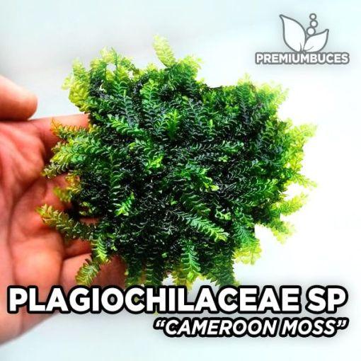 Plagiochilaceae Cameroon Moss musgo de acuario