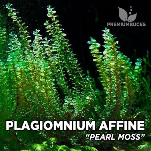 Plagiomnium Affine Pearl Moss musgo de acuario