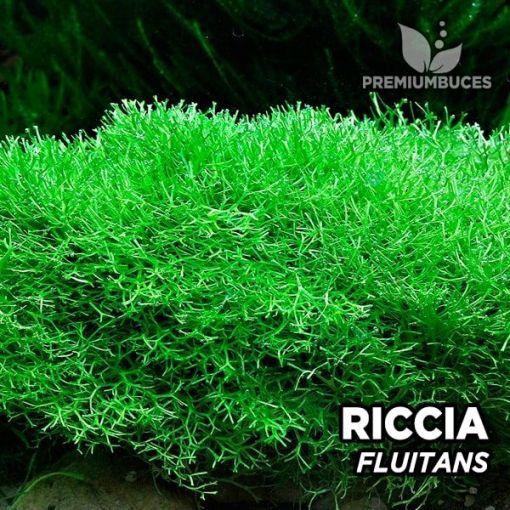Riccia Fluitans musgo de acuario