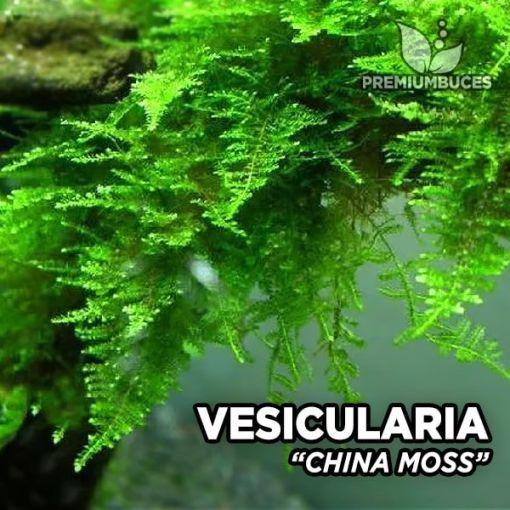 Vesicularia China Moss musgo de acuario